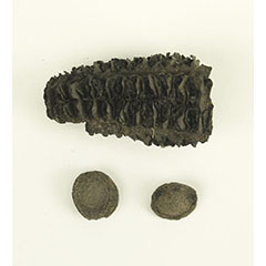 Colour photograph of a charred corn cob and two squash seeds.